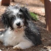 Adopt A Pet :: Domino - Lawrenceville, GA