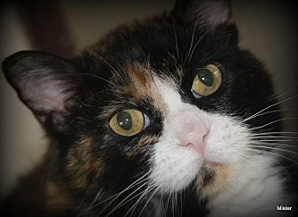 Domestic Shorthair Cat for adoption in O Fallon, Illinois - Betty