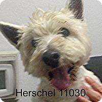 Adopt A Pet :: Herschel - baltimore, MD