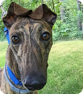Greyhound Dog for adoption in Swanzey, New Hampshire - Archie
