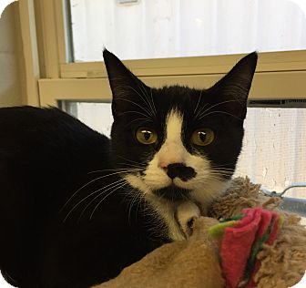 Domestic Shorthair Kitten for adoption in San Leon, Texas - Frida