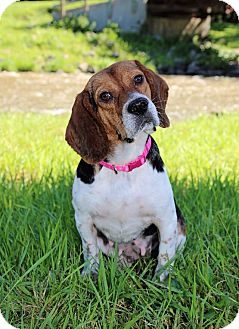 Beagle Mix Dog for adoption in Wood Dale, Illinois - Petunia- Foster Home Needed