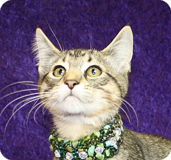 Domestic Shorthair Kitten for adoption in Jackson, Michigan - Hewey