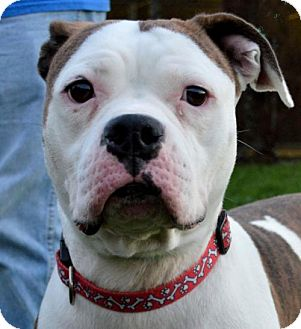 American Bulldog/Boxer Mix Dog for adoption in Westampton, New Jersey - Jellybean  33407739