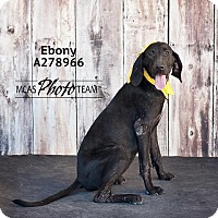 Adopt A Pet :: EBONY - Conroe, TX