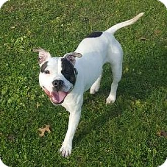 American Pit Bull Terrier Mix Dog for adoption in Janesville, Wisconsin - Snoop