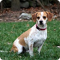 Beagle Mix Dog for adoption in Allentown, Pennsylvania - WINSTON