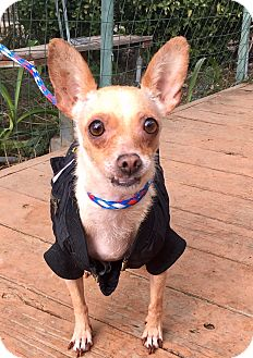 Chihuahua Mix Dog for adoption in Santa Ana, California - Audrey