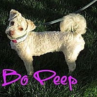 Adopt A Pet :: Bo Peep - Scottsdale, AZ