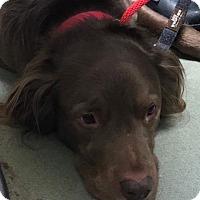 Adopt A Pet :: Duke - Toronto, ON