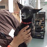 Adopt A Pet :: Mozzie - Westminster, CA