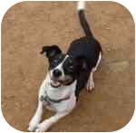 Rat Terrier Mix Dog for adoption in Phoenix, Arizona - Gemma