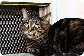 Domestic Shorthair Cat for adoption in Lombard, Illinois - Italia Bambini