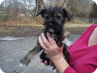 Schnauzer (Miniature) Mix Puppy for adoption in Germantown, Maryland - Caper