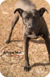 Labrador Retriever Mix Dog for adoption in Crawfordville, Florida - Nyla