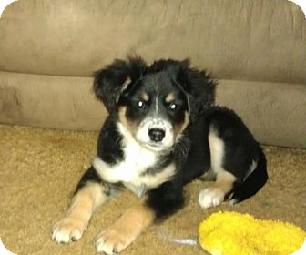 Border Collie/Labrador Retriever Mix Puppy for adoption in Wytheville, Virginia - Raven