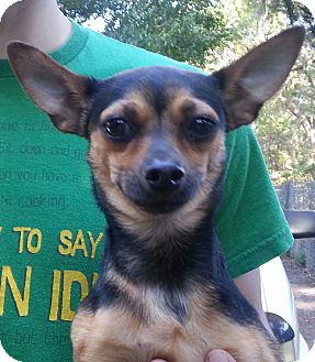 Chihuahua Dog for adoption in Orlando, Florida - Buddy