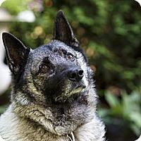 Adopt A Pet :: Flicker - Rigaud, QC