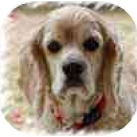 Adopt A Pet :: Cocoa #2 - San Diego, CA