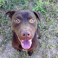 Labrador Retriever/American Bulldog Mix Dog for adoption in Smithfield, North Carolina - Jesse