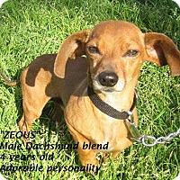 Adopt A Pet :: Zeous - El Cajon, CA