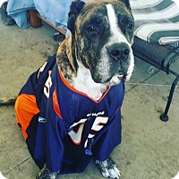 Presa Canario Mix Dog for adoption in edgewater, Florida - ivan