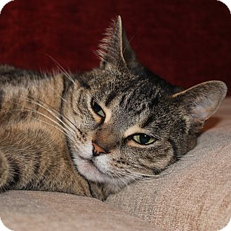 Domestic Shorthair Cat for adoption in Toronto, Ontario - Abby