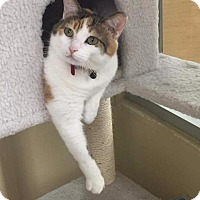 Domestic Shorthair Cat for adoption in Fenton, Missouri - Abby