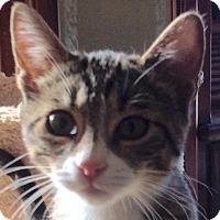 Adopt A Pet :: B'Elanna - Eureka, CA