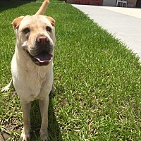 Shar Pei Dog for adoption in Myakka City, Florida - Louise