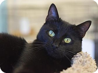 Domestic Shorthair Cat for adoption in DFW Metroplex, Texas - PJ