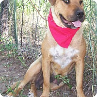 Labrador Retriever/Shar Pei Mix Dog for adoption in Questa, New Mexico - Sandy