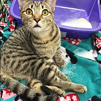 Bengal Kitten for adoption in Burbank, California - Belle