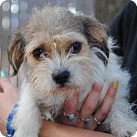 Adopt A Pet :: Benjamina - Philadelphia, PA
