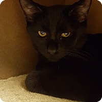 Domestic Shorthair Kitten for adoption in Grayslake, Illinois - Multigrain