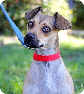 Pug/Miniature Pinscher Mix Puppy for adoption in San Diego, California - Marte