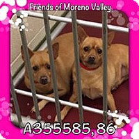 Chihuahua Mix Dog for adoption in San Bernardino, California - URGENT CHI Girls Moreno Valley