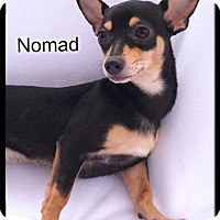 Adopt A Pet :: Nomad - Simi Valley, CA