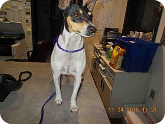 Rat Terrier Dog for adoption in Temple, Texas - A046324