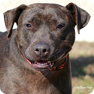 Pit Bull Terrier Mix Dog for adoption in Bedford, Virginia - Cassie
