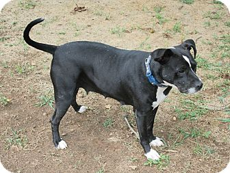 Staffordshire Bull Terrier/Labrador Retriever Mix Dog for adoption in Knoxville, Tennessee - Cora