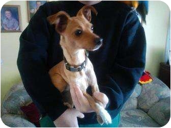 Poco Adopted Puppy Spring Valley Ca Italian Greyhound Chihuahua Mix
