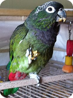 Pionus for adoption in St. Louis, Missouri - Leto