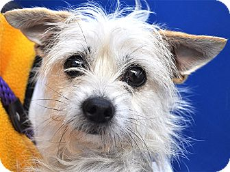 West Highland Terrier Mix Puppies Chrissy | Adopted Dog ...