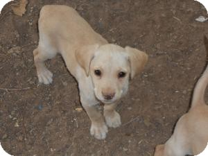 Labrador Retriever Mix Puppy for adoption in Post, Texas - Annie