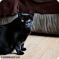 Domestic Shorthair Cat for adoption in Whitewater, Wisconsin - Azalea