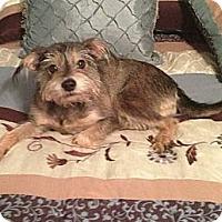 Adopt A Pet :: Abby - Flower Mound, TX