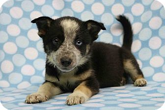 Husky/Blue Heeler Mix Puppy for adoption in Westminster, Colorado - Wendi