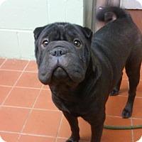 Adopt A Pet :: Sherlock - Long Beach, NY