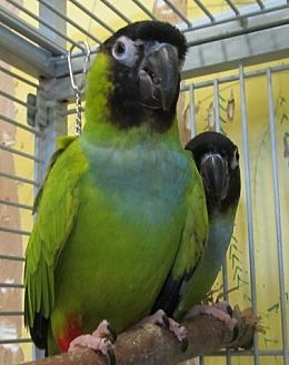 Conure for adoption in Edgerton, Wisconsin - Boaz & Ruthie